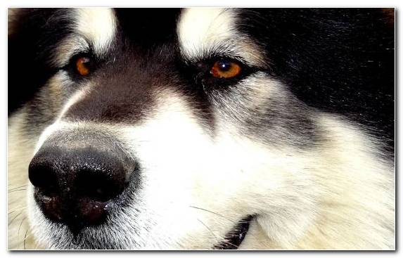 Image Greenland Dog Dog Breed Dog Like Mammal Snout Dog
