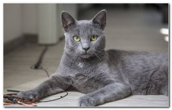 Image grey animal Gray burmese cat breed