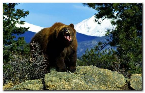 Image Grizzly Bear Bear National Park Roar Desert