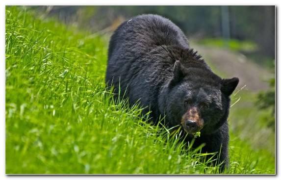 Image Grizzly Bear Wildlife American Black Bear Terrestrial Animal Brown Bear