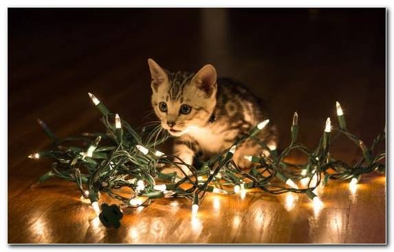 Image Grumpy Cat Cat Christmas Lighting Cuteness