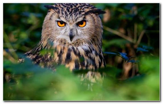 Image Gulls Bird Of Prey Beak Barred Owl Wildlife