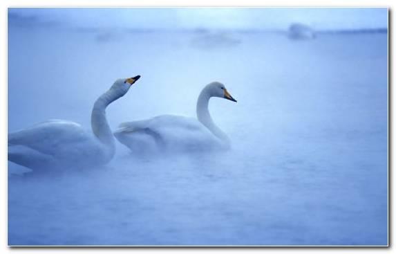 Image Gulls Black Swan Water Bird Bird Whooper Swan