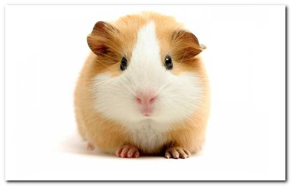 Image Hamster Muroidea Pet Whiskers Moustache