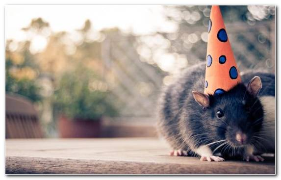 Image Hamster Vertebrate Muridae Party Hat Rodent
