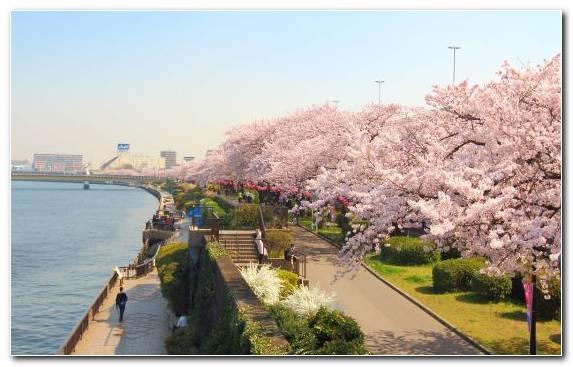 Image Hanami Factory Spring Sumida River Cherry Blossom