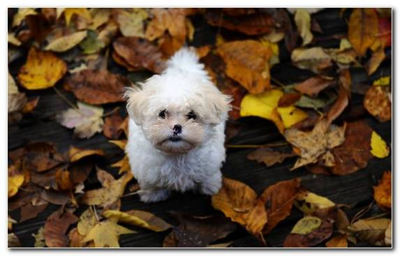 Image Havanese Dog Breed Bichon Frise Bolognese Dog Leaves
