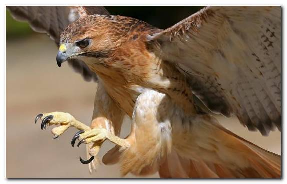 Image Hawk Animal Wing Fauna Beak