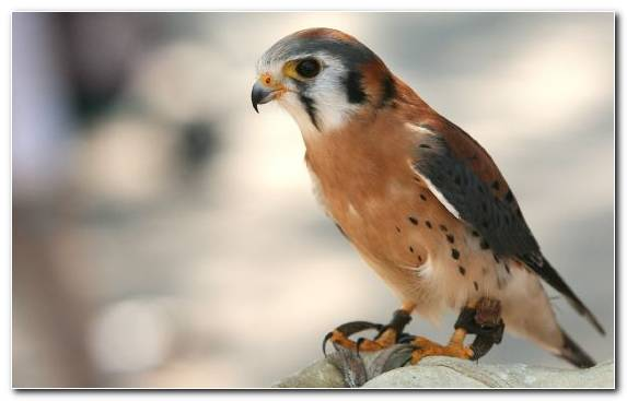 Image Hawk Cuteness Buzzard Bird Wildlife