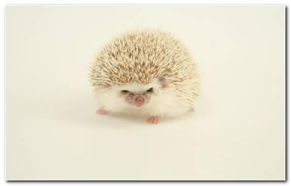 Image Hedgehog Mammal Snout Cuteness Erinaceidae