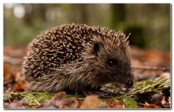 Image Hedgehog Wildlife Porcupine