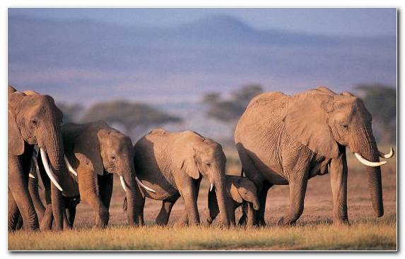 Image Herd Desert Animal Grassland Mammoth