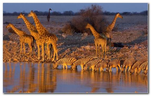 Image herd giraffidae nature etosha national park reflection