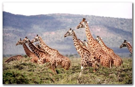 Image Herd Terrestrial Animal Giraffidae Wildlife Desert
