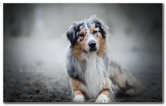 Image herding dog Miniature American Shepherd australian shepherd dog breed group dog