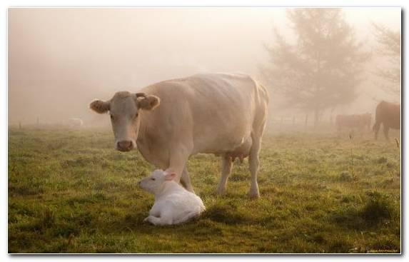 Image Highland Cattle Calf Grazing Pasture Grass