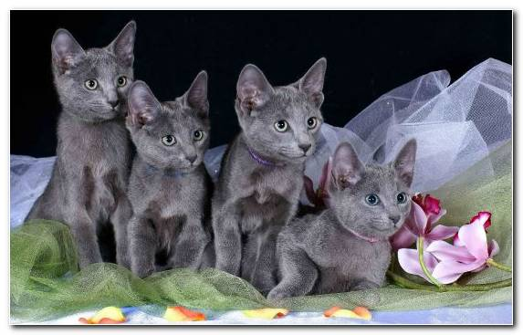 Image himalayan cat fauna chartreux kitten korat