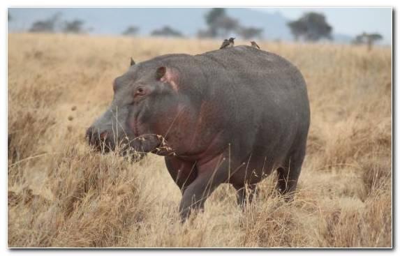 Image Hippopotamus Snout Steppe Terrestrial Animal Rhinoceros