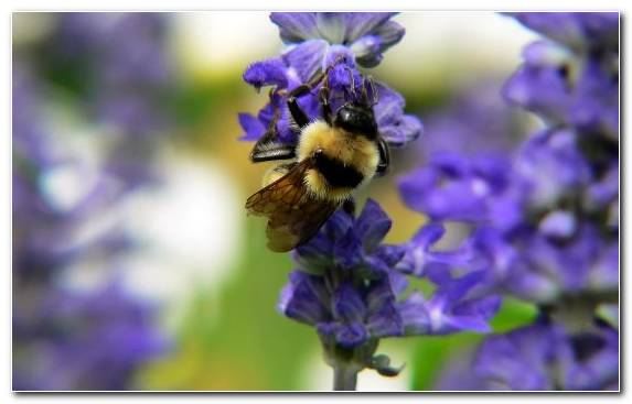 Image Honey Bee Bumblebee Pollinator Insect Bee