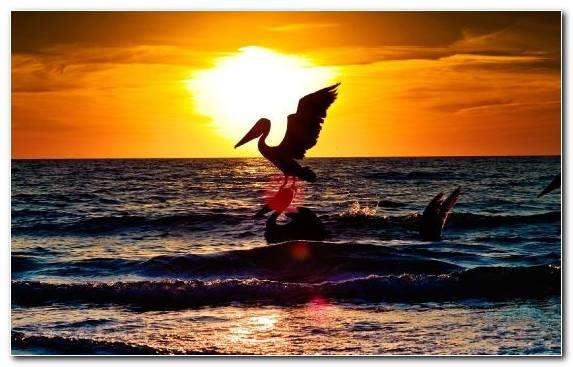 Image Horizon Pelican Sun Sky Ocean