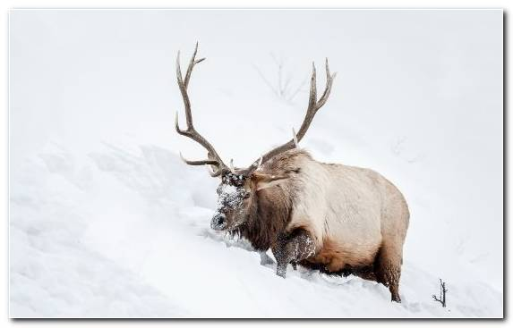 Image Horn Happy New Year Wildlife Elk Snow