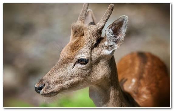 Image Horn Snout Terrestrial Animal Antler Thorin Oakenshield
