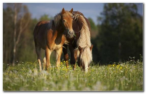 Image Horse Breed Mare Grassland Dog Like Mammal Arabian Horse