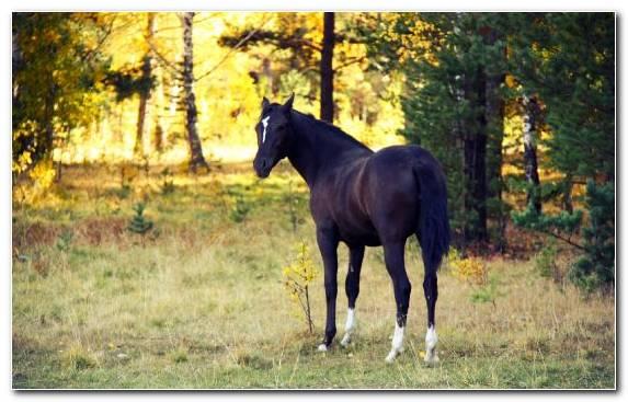 Image Horse Stallion Mane Mare Pony