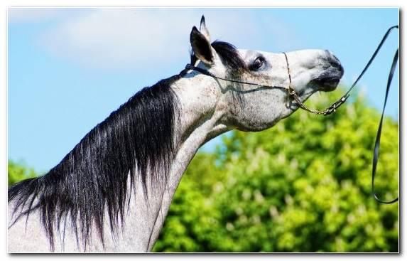 Image Horse Tack Black Arabian Horse American Paint Horse Mane