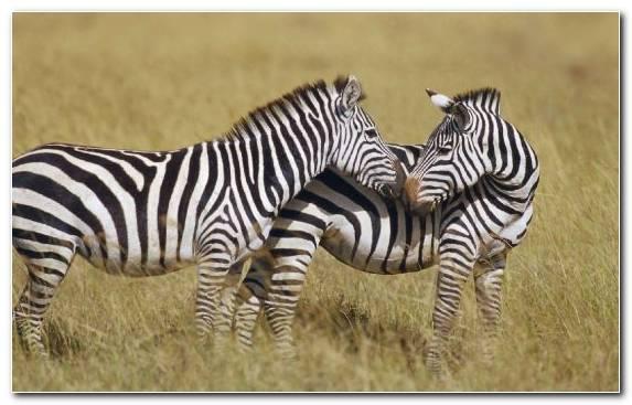 Image Horse Zebra Savanna Ecosystem Terrestrial Animal