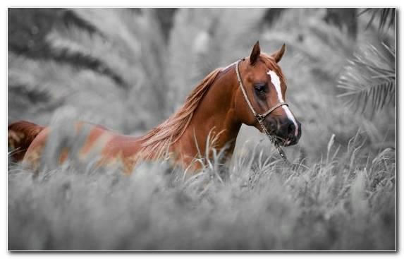 Image Horses Black Arabian Horse Stallion Mustang Horse