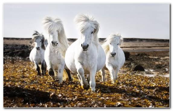 Image Horses Mane Icelandic Horse Pony Mustang Horse