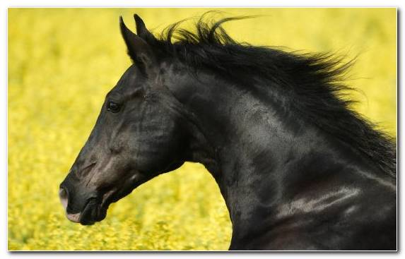 Image Horses Mustang Horse Mustang Friesian Horse Andalusian Horse