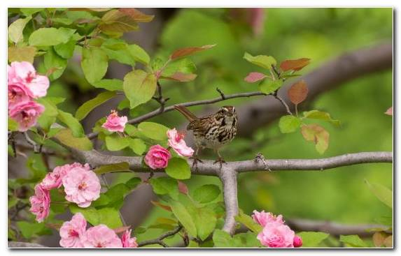Image House Sparrow Blossom Flower Sparrow Factory