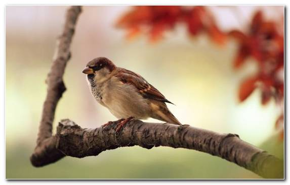 Image House Sparrow Branch Beak Perching Bird Emberizidae