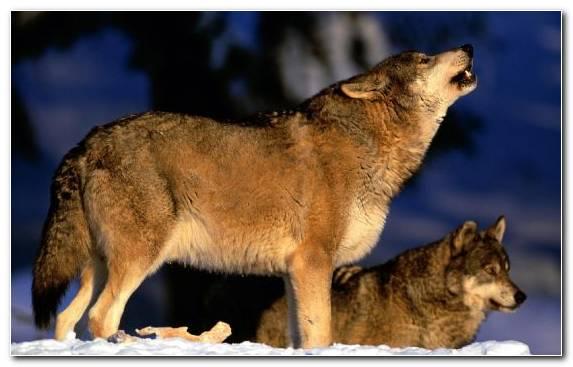 Image Howling Fauna Canis Lupus Tundrarum Dog Like Mammal Jackal