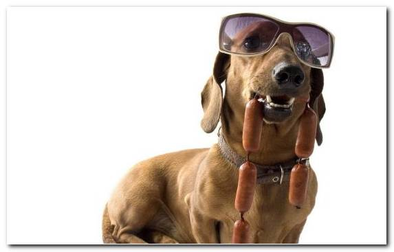 Image Hunting Dog Boston Terrier Rhodesian Ridgeback Sausage Snout