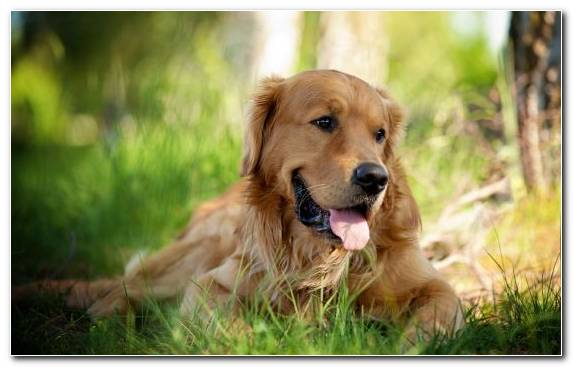 Image Hunting Dog Companion Dog Dog Breed Snout Golden Retriever