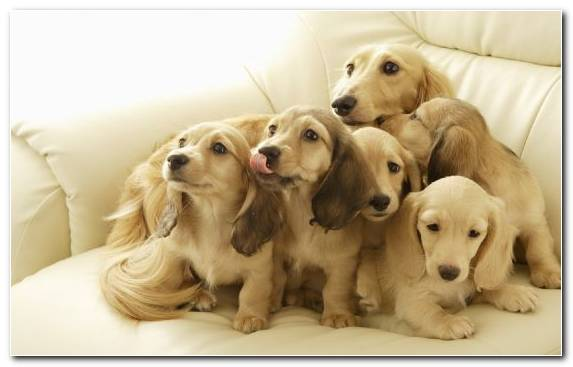 Image Hunting Dog Dog Like Mammal Beagle Dachshund Cuteness