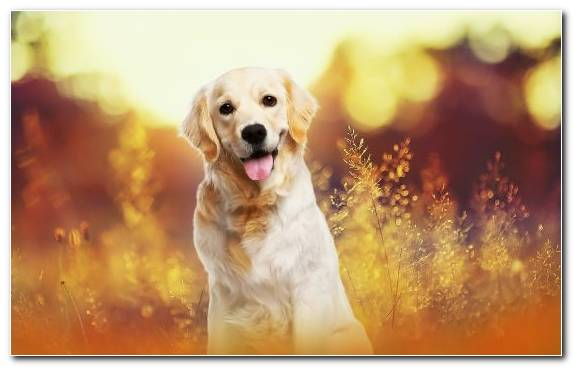 Image Hunting Dog Golden Retriever Snout Dog Like Mammal Dog Breed