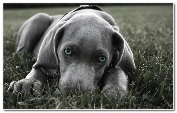 Image Hunting Dog Mammal Blue Snout Puppy