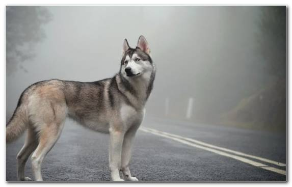 Image Husky Dog Breed Czechoslovakian Wolfdog Dog Siberian Husky