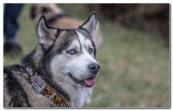 Image Husky Dog Breed Group Dog Breed Dog Tamaskan Dog