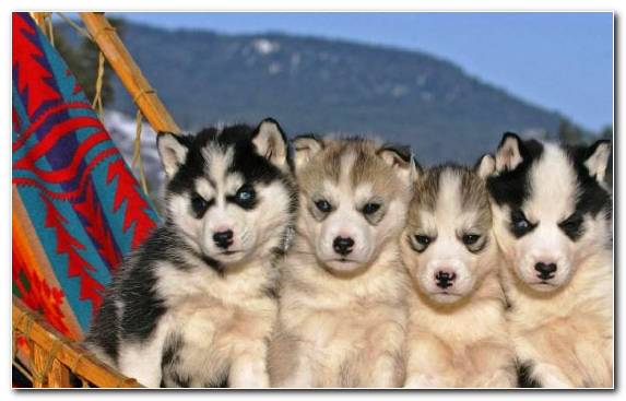 Image Husky Dog Dog Breed Group Puppy Sled Dog