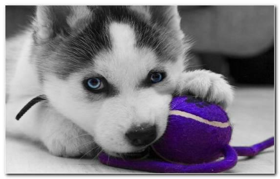 Image Husky Eye Dog Breed Cuteness Dog