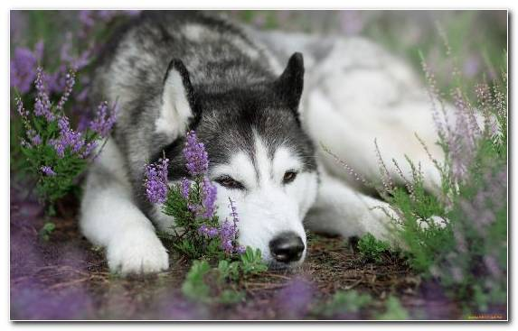 Image Husky Puppy Siberian Husky Dog Like Mammal Dog Breed