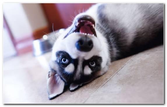Image Husky Puppy Siberian Husky Fur Paws