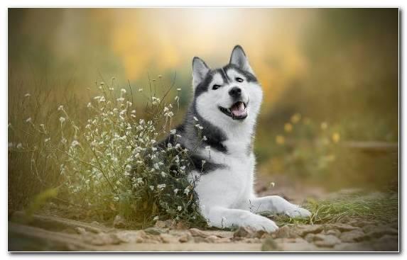 Image Husky Sakhalin Husky The Siberian Husky Alaskan Malamute Dog Like Mammal