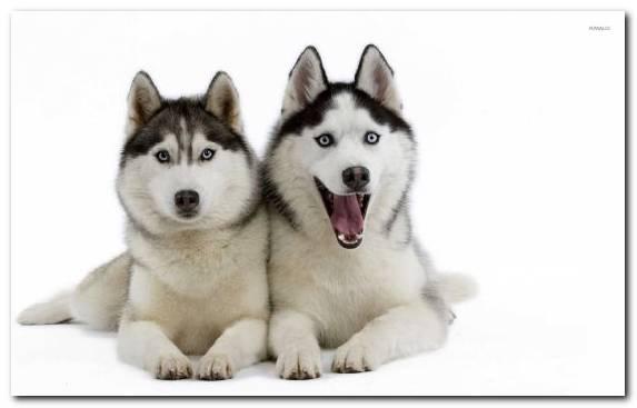 Image Husky Sled Dog Siberian Husky Sakhalin Husky Dog