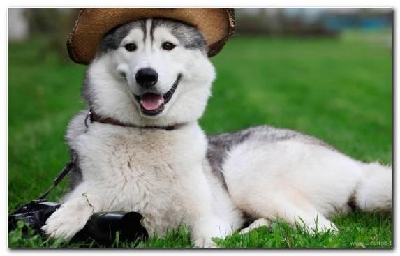 Image Husky Snout Puppy The Siberian Husky Grass